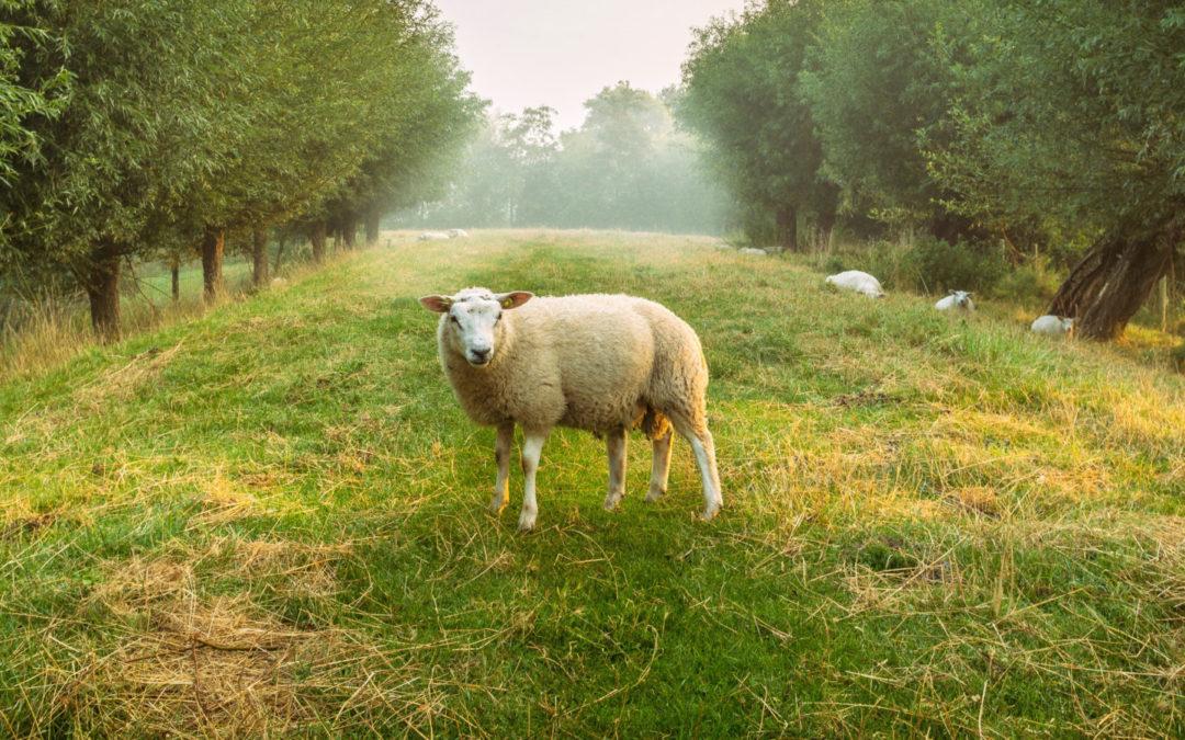 Op zoek naar het schaap met vijf poten